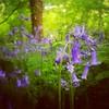 Bluebell wood #runpix
