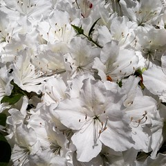 White Azaleas. #white #flowers #flower #nature #azaleas #azalea #picoftheday