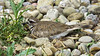 Killdeer - Resting on Stones