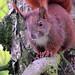 Eichhörnchen (6)