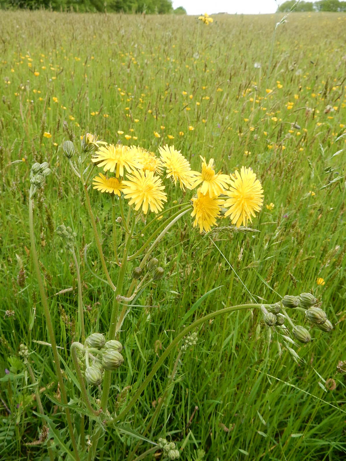 Not a dandelion possibly a hawkweed Bures to Sudbury