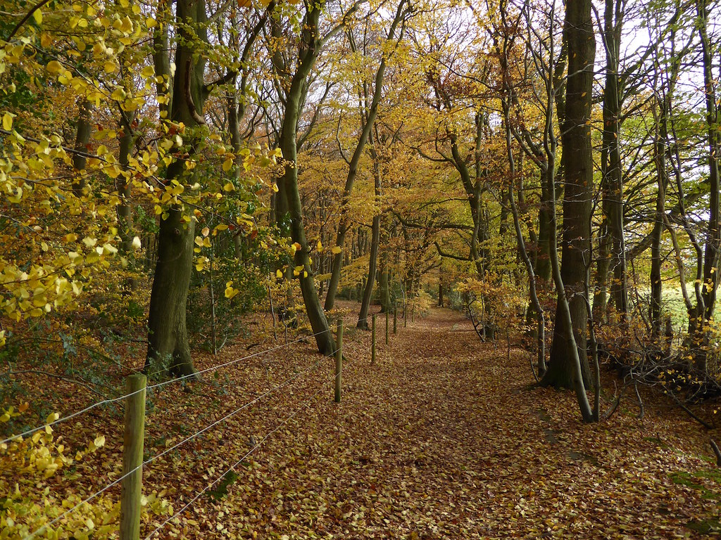 Monkton Wood beeches Princes Risborough to Great Missenden walk