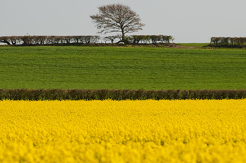 tree green nature grass yellow landscape gold sussex zoom hedge layers ripe compressed rapeseed 70300 simonanderson