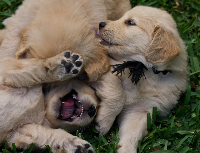 Funny Puppies Playing Golden Retriever Cuddly Cutelings