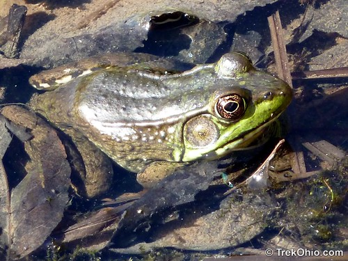 Northern green frog  (Rana clamitans melanota)