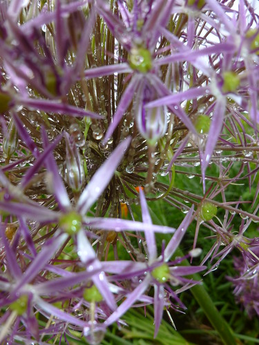 Raindrops on allium