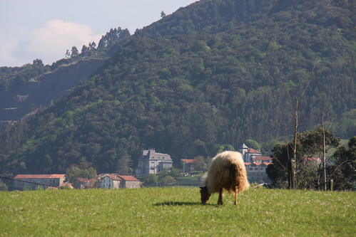 Sheep in Colindres