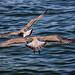 Seagulls in flight by Theophilos