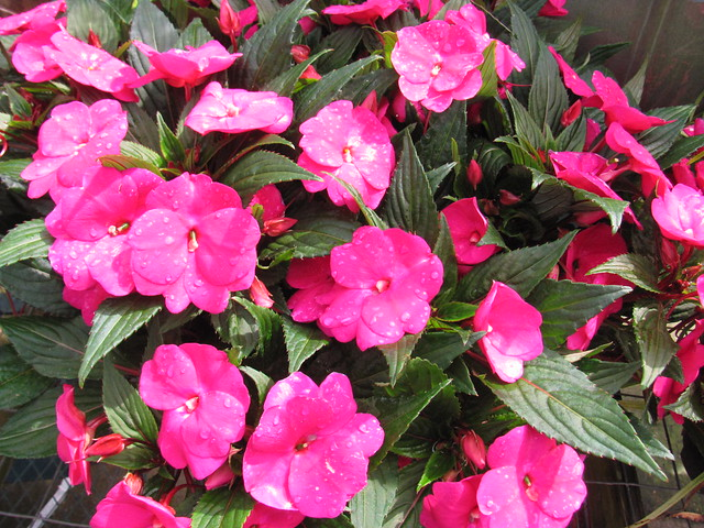 New guinea impatiens flickr photo sharing for New guinea impatiens