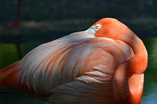 Flamingo twists and turns to get ready for its nap by jungle mama