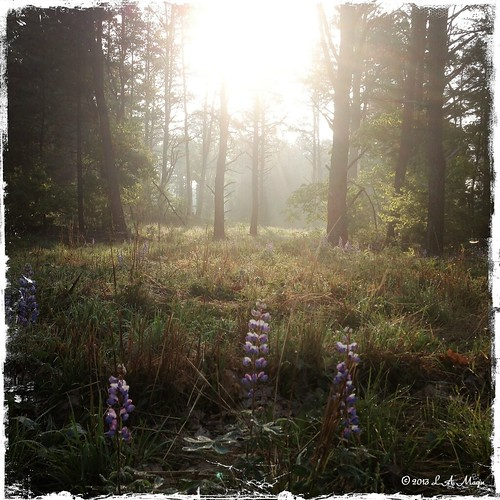 trees light ny landscape woods 5 lupine wilton iphone hipsta hipstamatic
