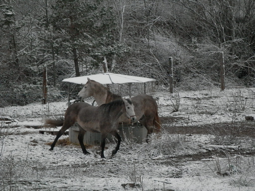 Chevaux d'hiver
