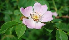blossom(0.0), garden roses(0.0), rosa rugosa(0.0), shrub(1.0), flower(1.0), rosa gallica(1.0), plant(1.0), rosa rubiginosa(1.0), macro photography(1.0), rosa canina(1.0), wildflower(1.0), flora(1.0), rosa multiflora(1.0), rosa acicularis(1.0), rosa pimpinellifolia(1.0), petal(1.0),