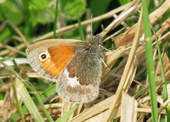 Small Heath - Coenonympha pamphilus