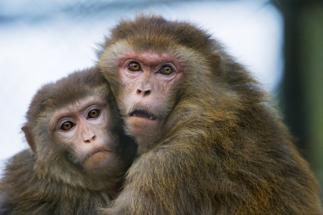 Two macaques holding each other