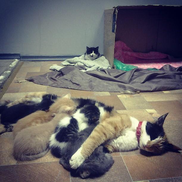 И все таки как много счастья в котах! Вдвойне больше, когда после часа бедлама наступает минутка тишины:). На заднем плане старшая приемная котейка, точней старший, как сегодня оказалось это мальчик:))) С остальными уже во всю водит дружбу, спят гурьбой в