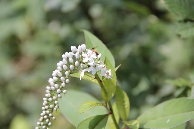 緑の中で,白い花をきれいに咲かせていたオカトラノオ.
