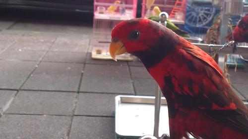 鳥街_上嘉鳥園_折衷鸚鵡