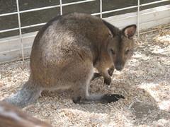 peccary(0.0), wombat(0.0), whiskers(0.0), wallaby(1.0), animal(1.0), marsupial(1.0), mammal(1.0), kangaroo(1.0), fauna(1.0),