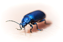 Blue shiny bug