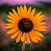 Small photo of Back Yard Sunflower