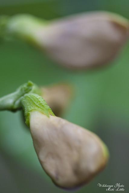 asparagusbean