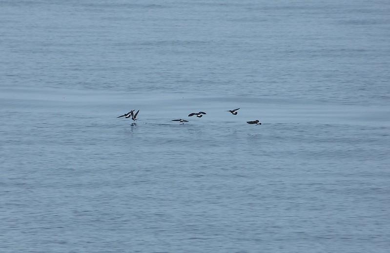 P1050486_2 - Storm Petrels, Isle of Mull
