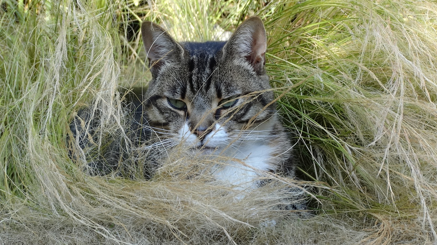 tabby-in-grass-x1