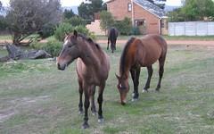 Wild stallions