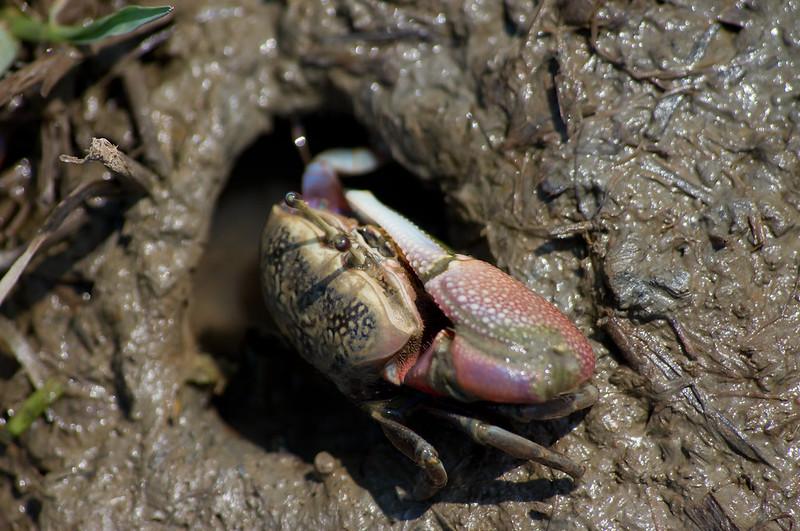 KIT之弧邊沼潮蟹