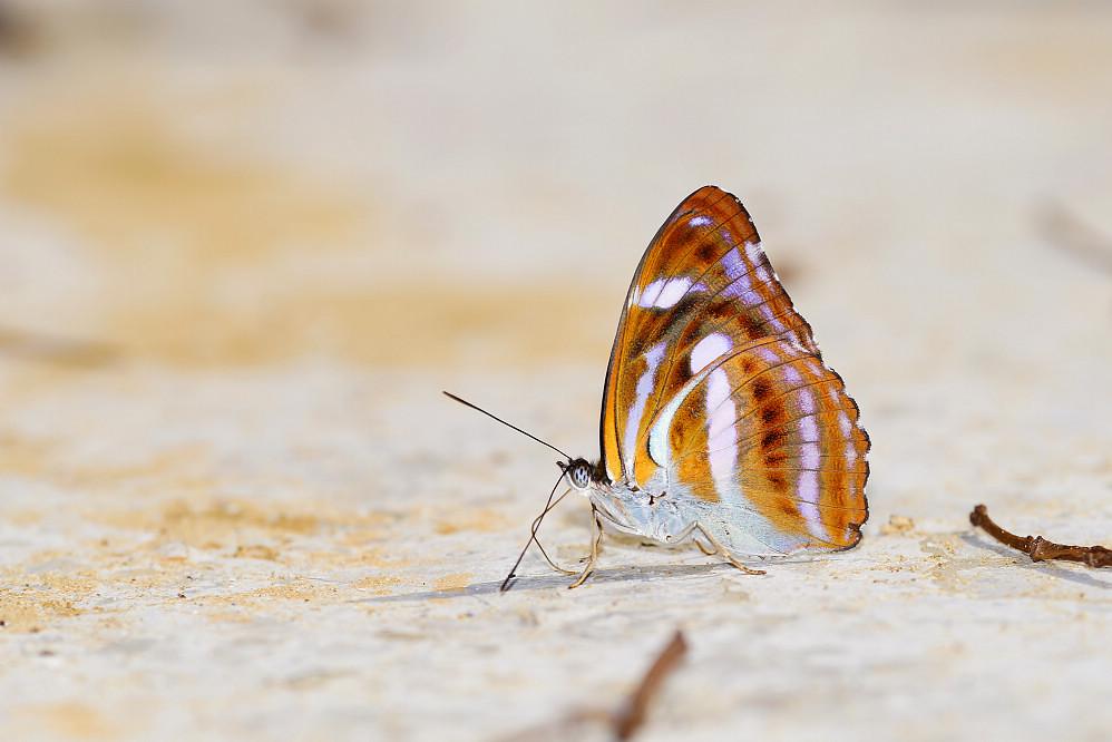 帶蛺蝶屬雙色帶蛺蝶-1