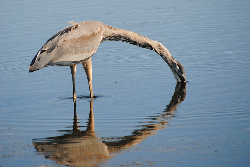 Great Blue Heron (Большая голубая цапля)