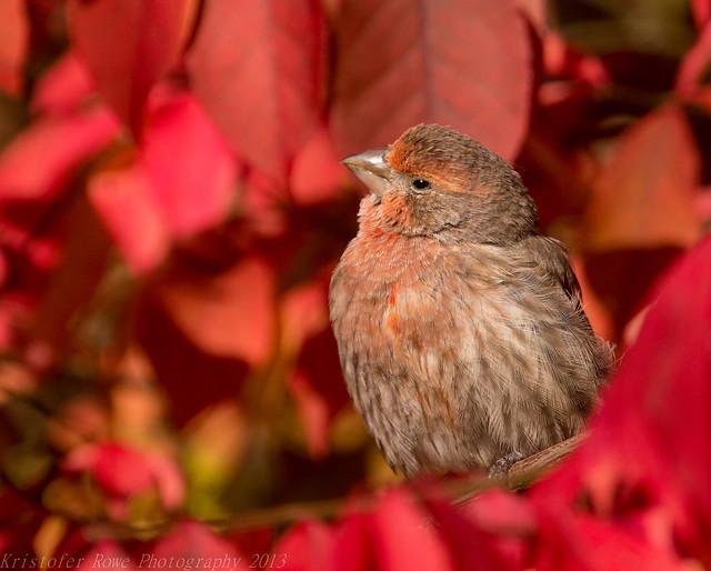 Finch on Foliage