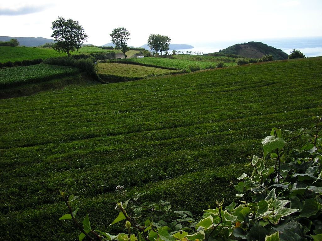 6. Plantaciones de té. Autor, Janelinhas