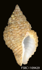 invertebrate(0.0), cockle(0.0), conch(1.0), animal(1.0), seashell(1.0), conch(1.0),