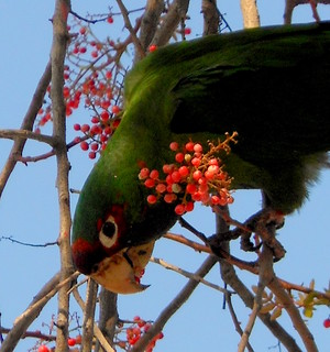 city parrot in a pepper tree