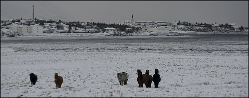 It's cold to be a horse on Iceland