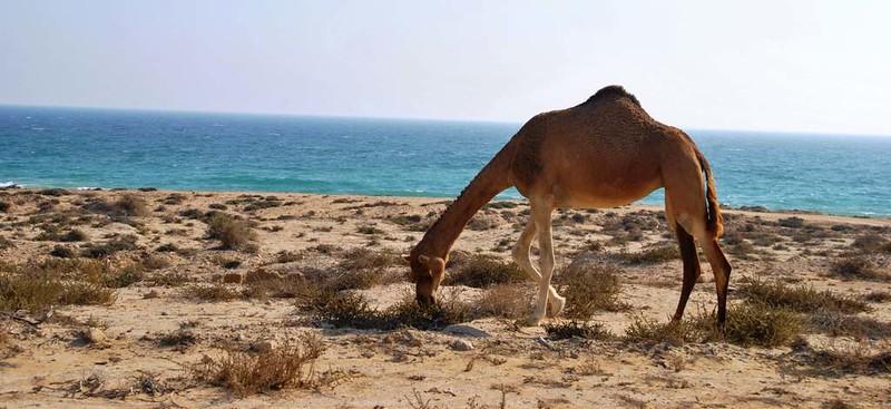 31 camellos pastando cerca del mar en la Isla de Qeshm (243)