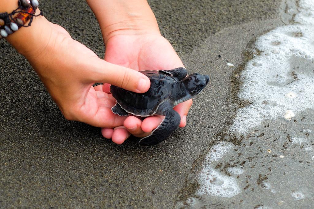 Schildpadjes vrijlaten