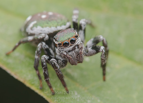 Jumping Spider IMG_0551 copy