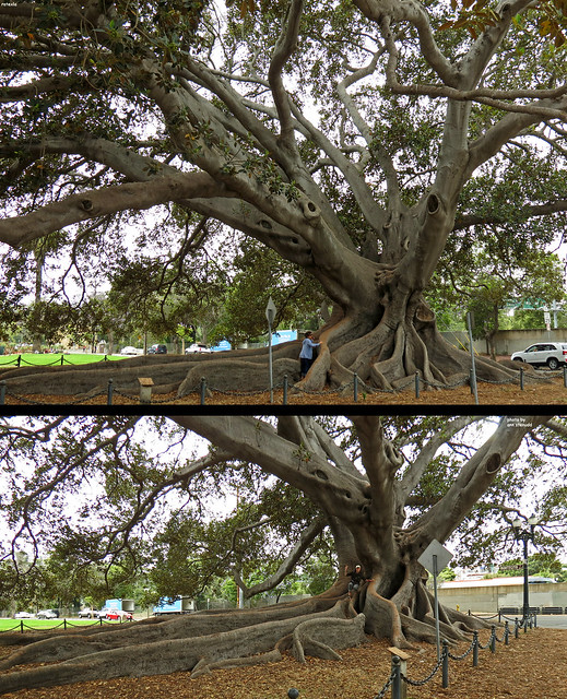 20130623 One of the bestest trees I've ever seen!!! :D | Santa Barbara, California