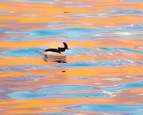 A male Bufflehead at sunset near Alki Point...