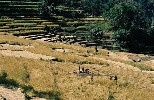 nepal mountain 2004 analog trekking trek landscape rice farmers harvest round himalaya ricefields annapurna annapurnas canoneos300 bahundanda