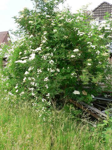 Fliederbeerbusch