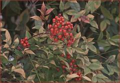 flower(0.0), strawberry tree(0.0), produce(0.0), food(0.0), evergreen(1.0), shrub(1.0), pistacia lentiscus(1.0), leaf(1.0), plant(1.0), flora(1.0), aquifoliaceae(1.0), aquifoliales(1.0),