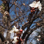 In the neighborhood: Apricot Blossoms - 6