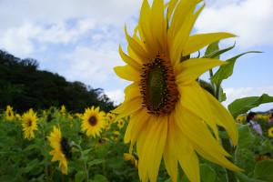Himawari Matsuri: Large Sunflower