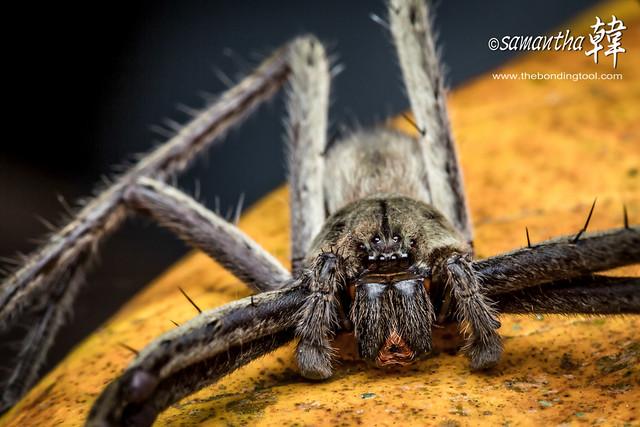 Macro-Huntsman Spider-4437