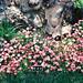 Saxifraga rosacea (천상초)