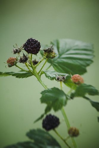 black raspberries: Original